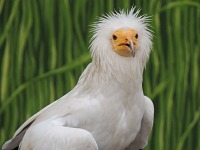 Egyptian Vulture image