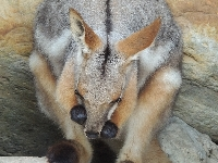 Wallaby image