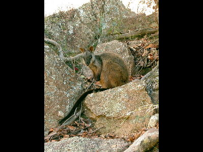 Wallaby  -  Brush-tailed Rock Wallaby