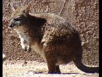 Parma Wallaby image