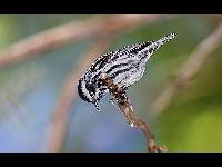 Warbler image