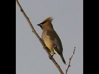 Waxwing image