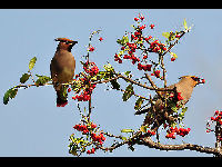 Japanese Waxwing image