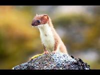 Weasel image