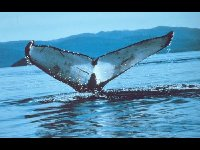 Humpback Whale image