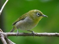 White-eye image