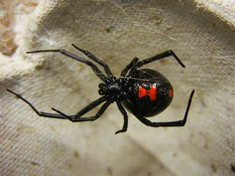 black widow spider coloring pages - redcabworcester - redcabworcester - Black Widow Spider Coloring Pages
