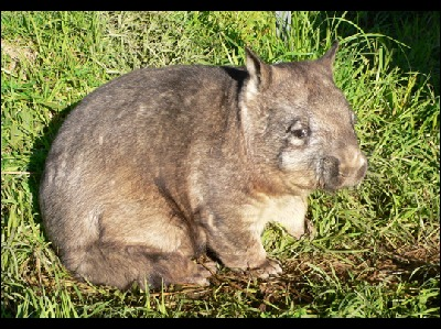 Wombat  -  Northern Hairy-nosed Wombat