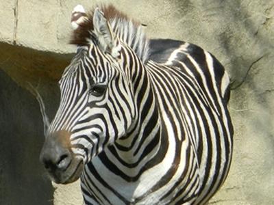 Zebra  -  Plains Zebra