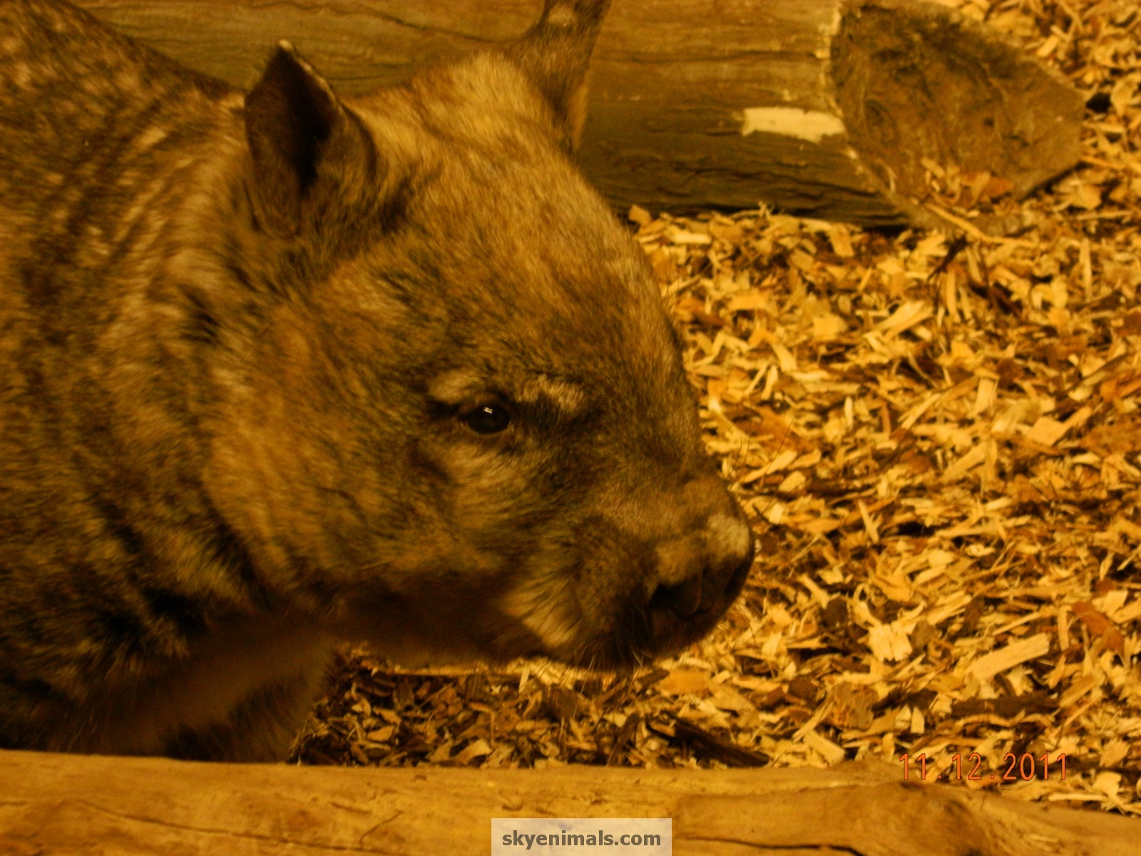 Wallpaper Wombat Images