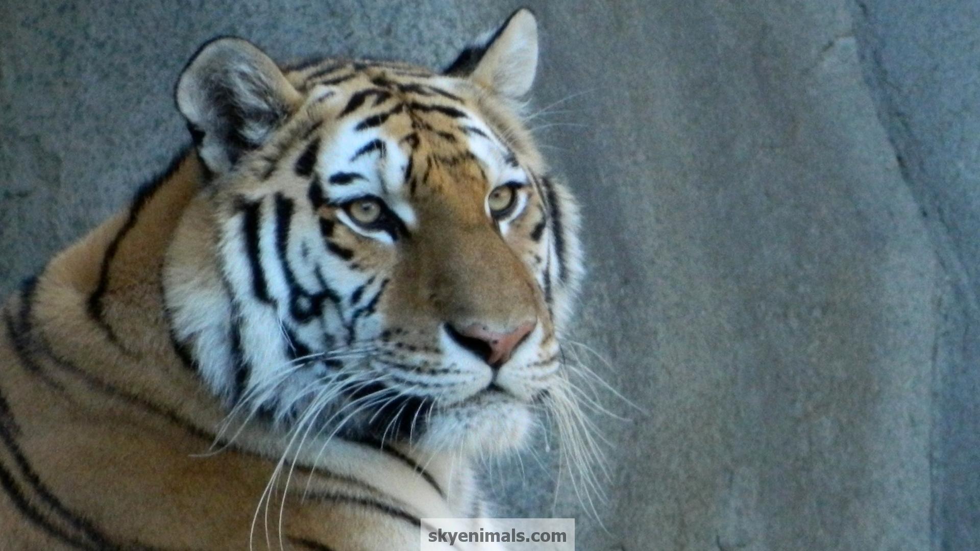 Siberian Tiger Wallpaper Image