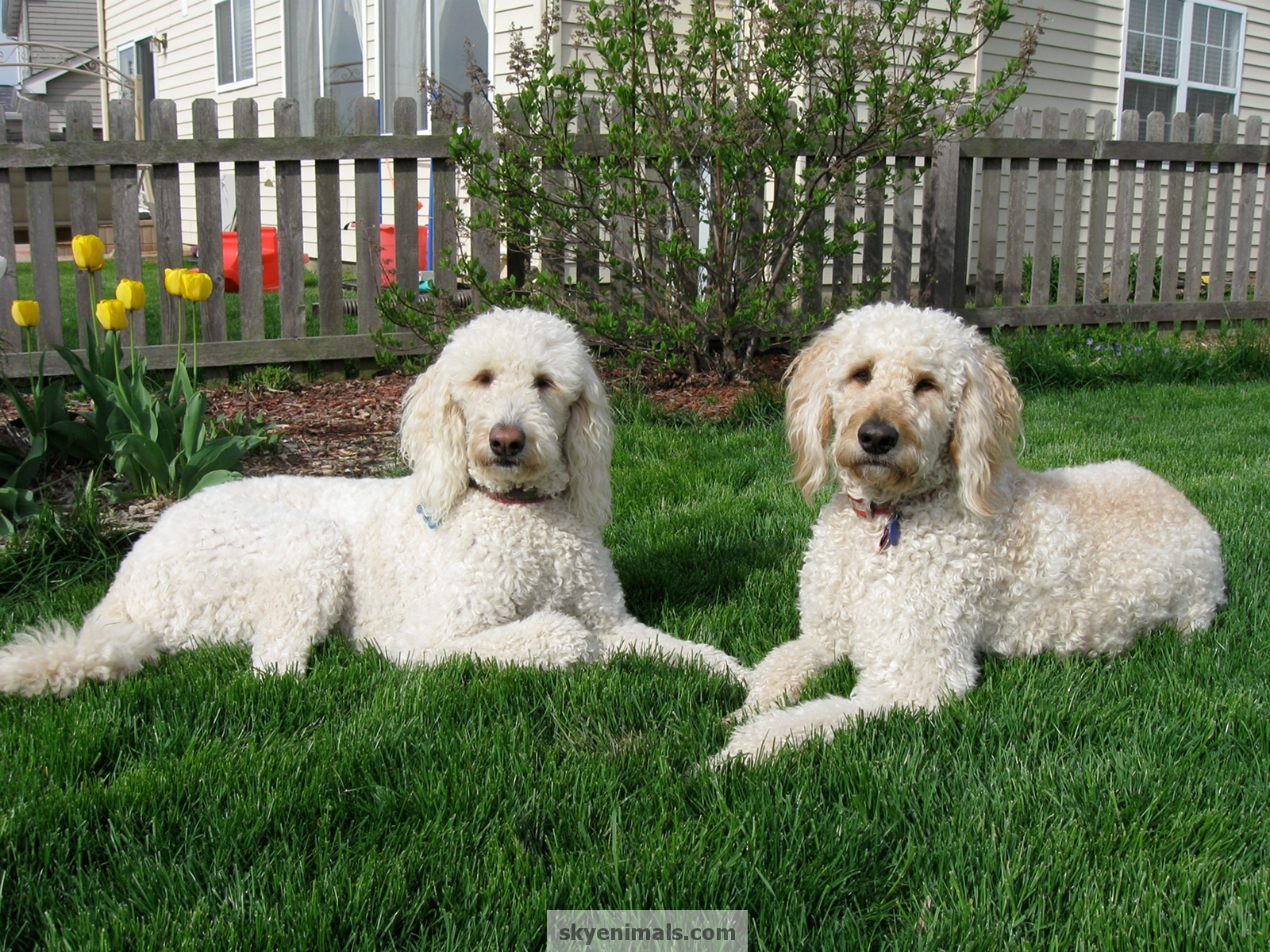 Wallpaper goldendoodle Images