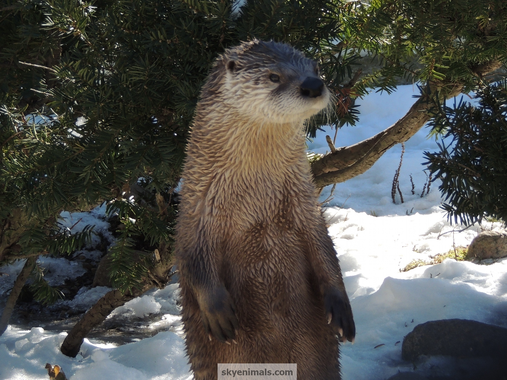 Wallpaper North American River Otter Images