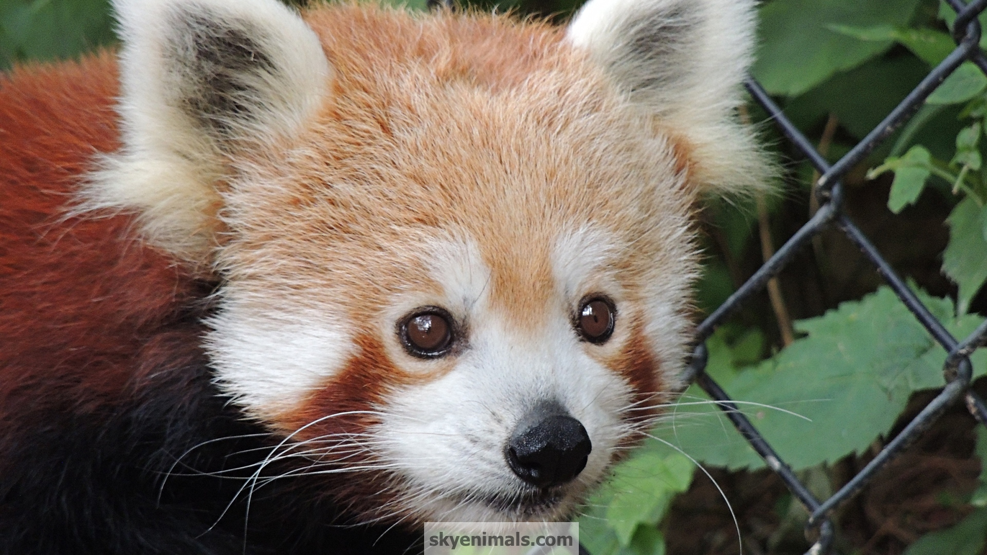 Free Red Panda Wallpaper Images