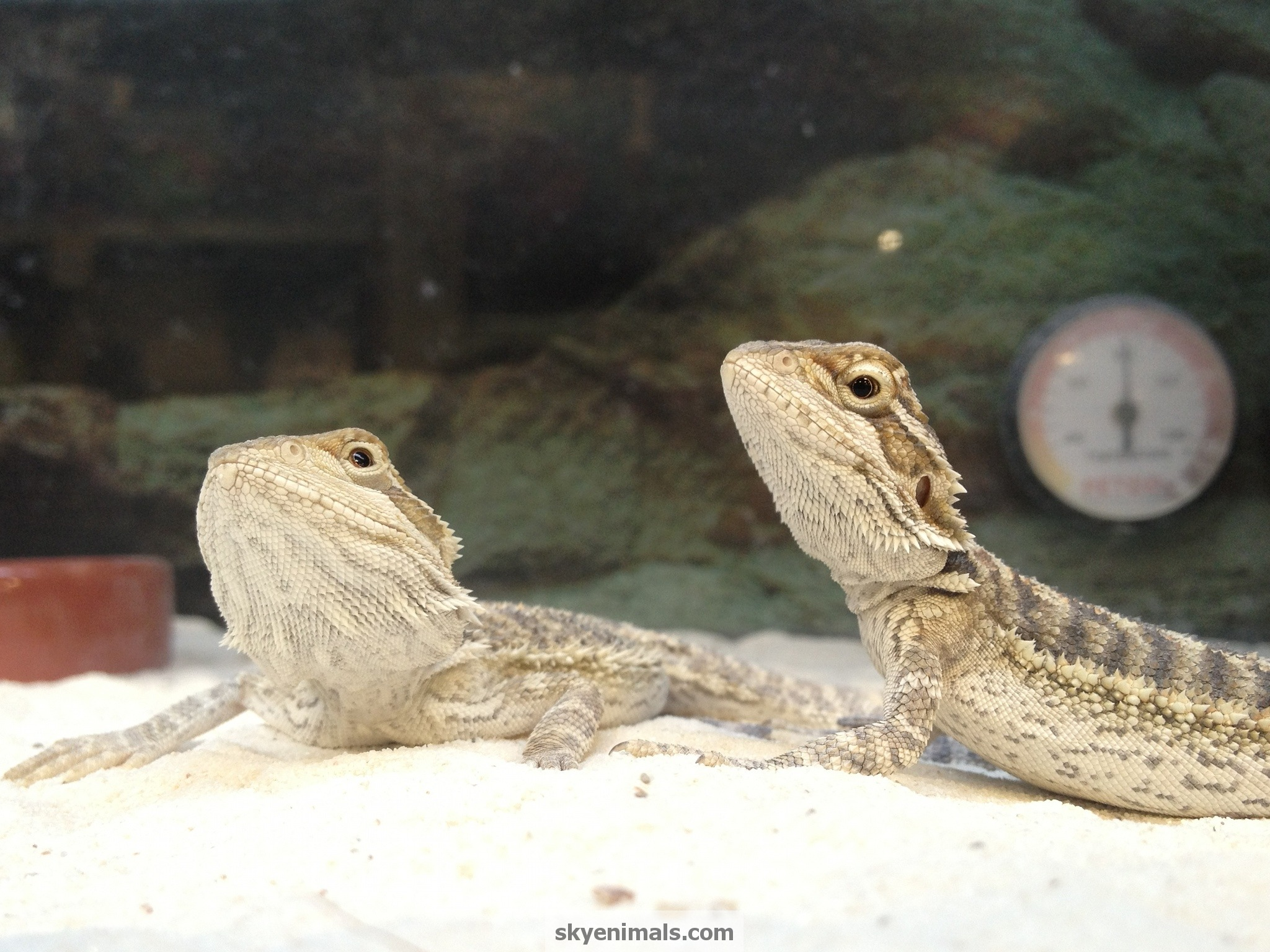 Free reptile wallpaper images baby bearded dragon wallpaper image voltagebd Choice Image