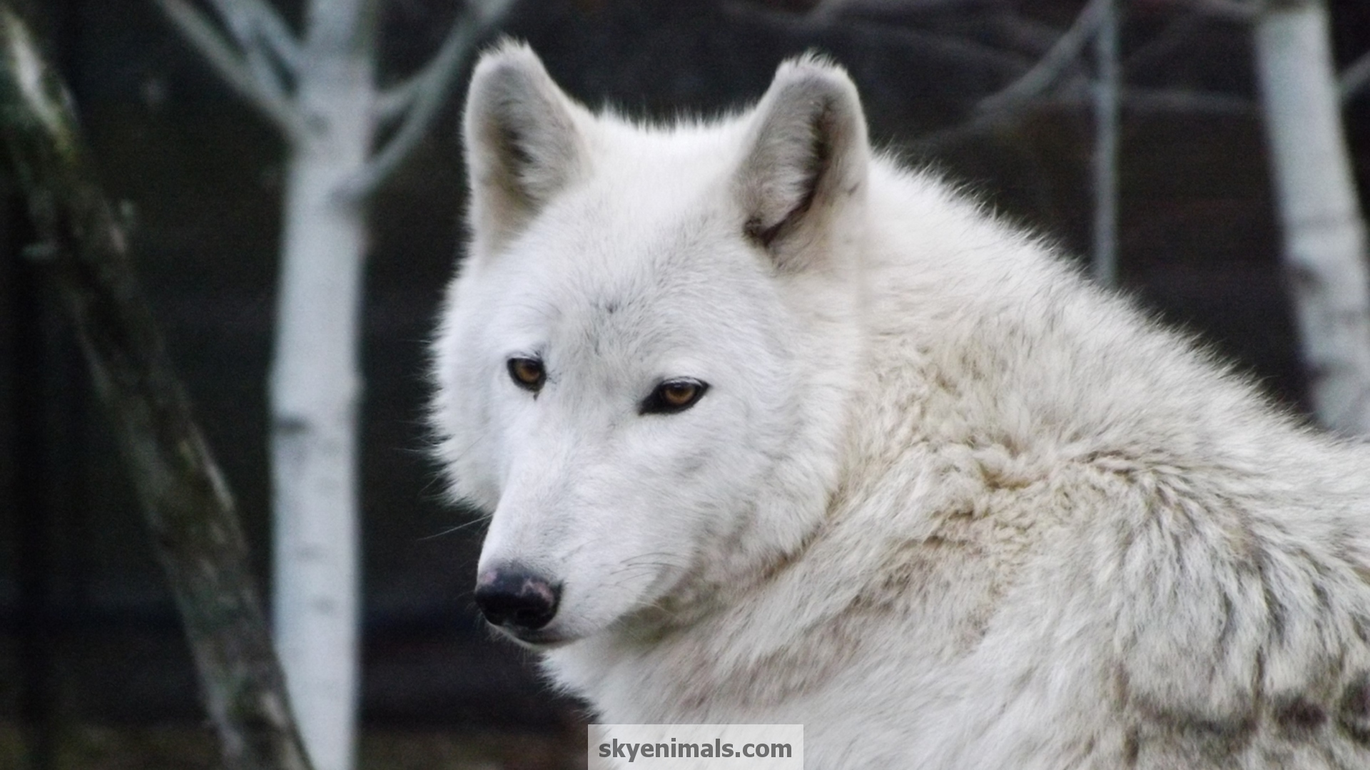 Wallpaper Gray Wolf Images