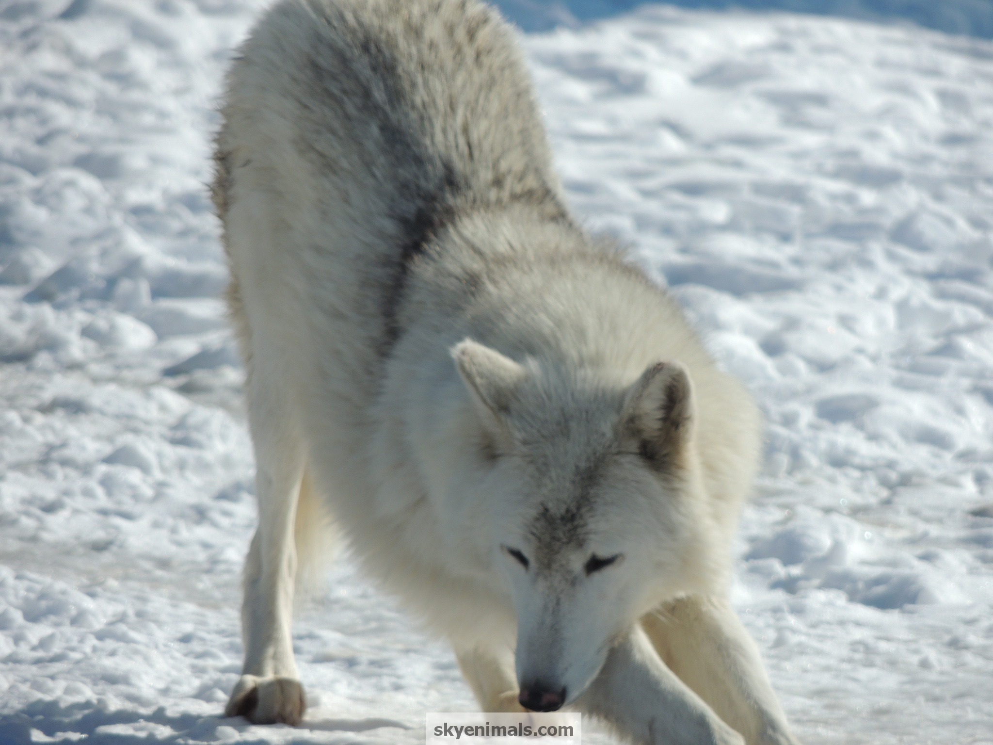 Free Wolf Wallpaper Images